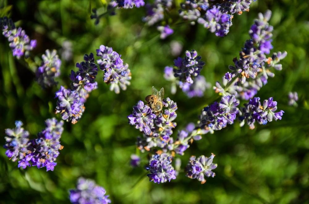 пчёла на лаванде турция